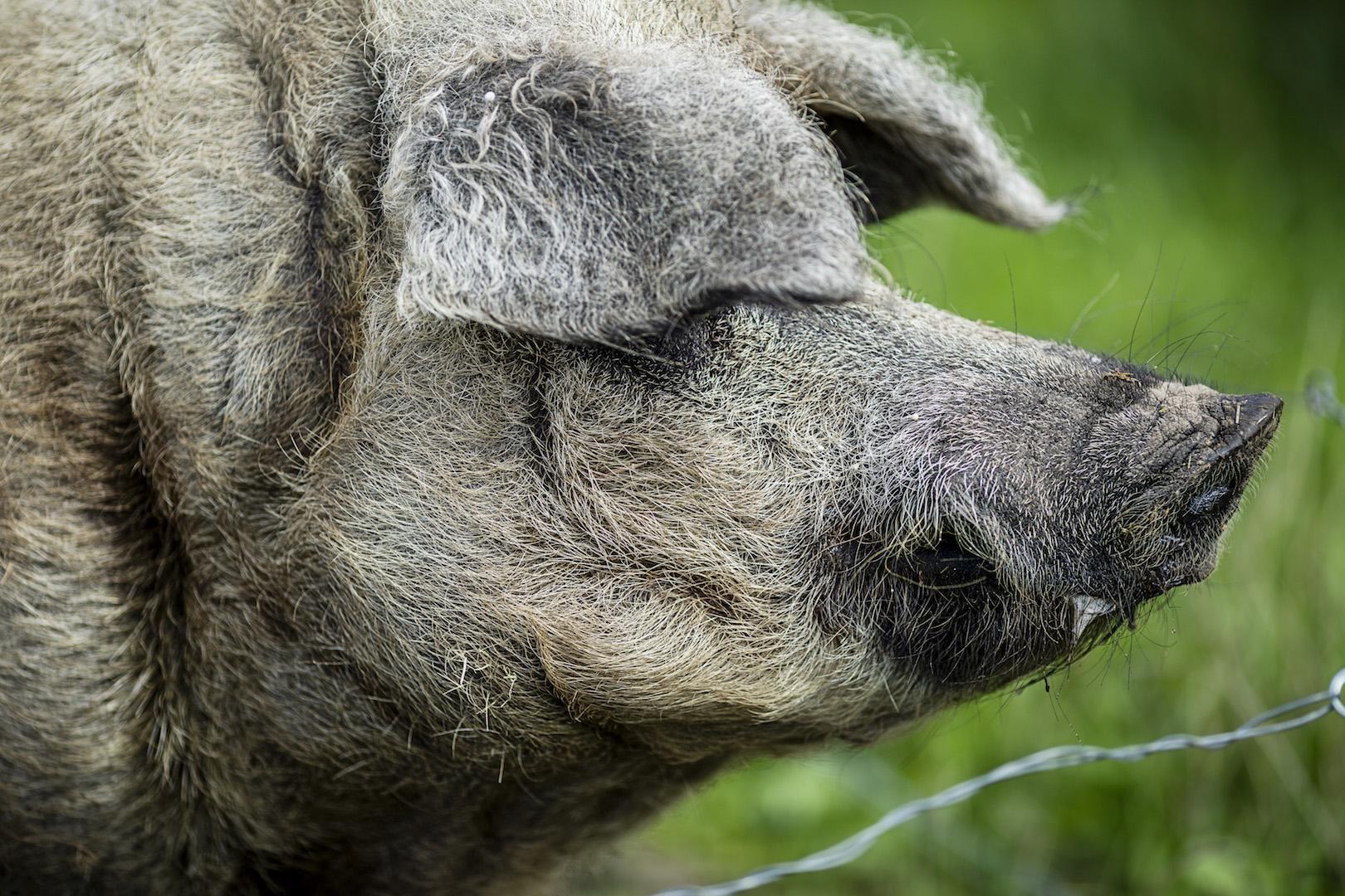 En uldgris også kaldet Mangalitza
